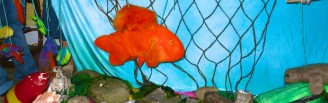 Goldfish 9
